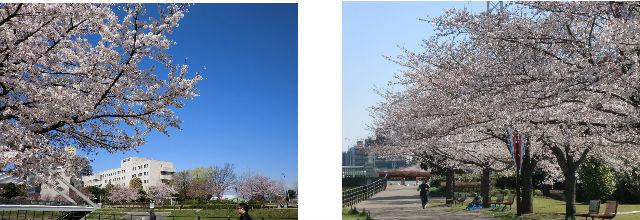 早朝清掃リポート ~桜の品川~